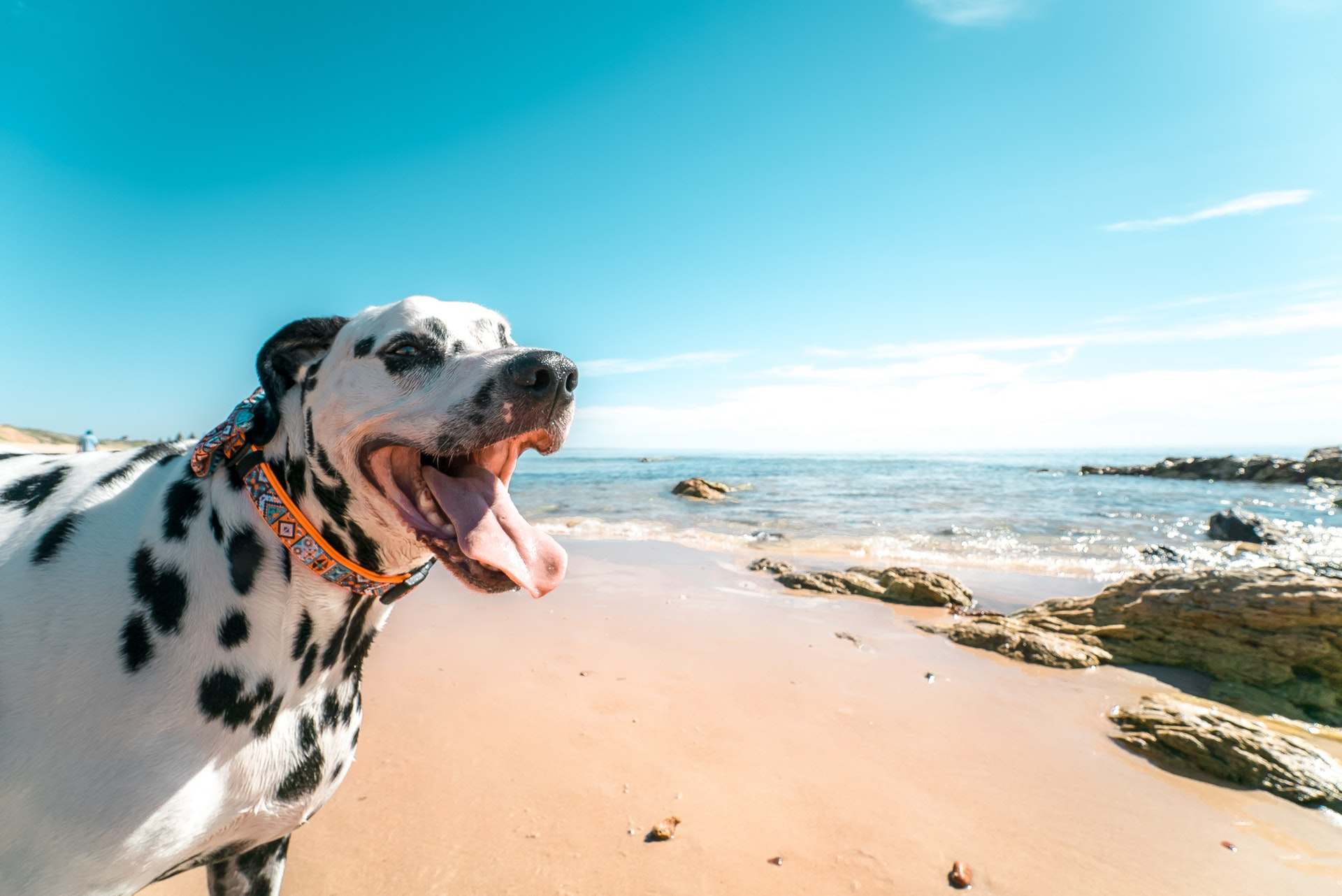A spotted dog, smiling at the camera in the foreground with the smooth sand and ocean behind it.